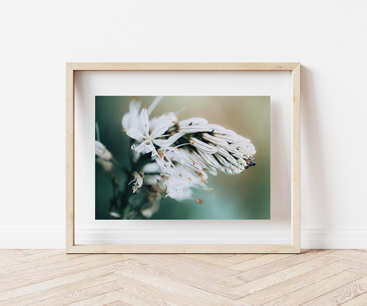 Asphodèle en Fleur 2