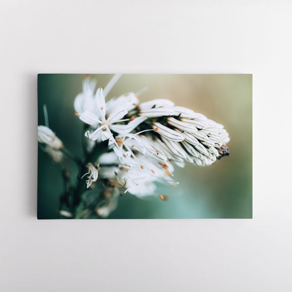 Asphodèle en Fleur 3
