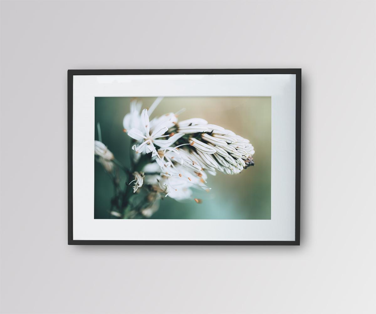 Asphodèle en Fleur